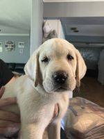 Labrador Retriever Puppies for sale in Mulberry, FL, USA. price: NA