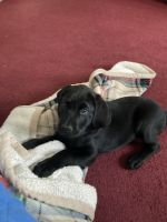 Labrador Retriever Puppies for sale in Shady Side, MD, USA. price: NA