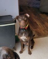 Labrador Retriever Puppies for sale in Spring Hill, TN, USA. price: NA