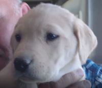Labrador Retriever Puppies for sale in Newberry Springs, CA 92365, USA. price: NA