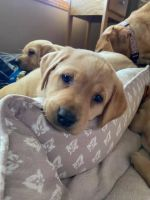 Labrador Retriever Puppies for sale in Annandale, MN 55302, USA. price: NA