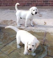 Labrador Retriever Puppies for sale in Pasadena, TX, USA. price: NA