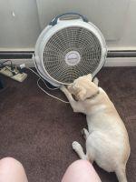 Labrador Retriever Puppies for sale in Somerdale, NJ, USA. price: NA