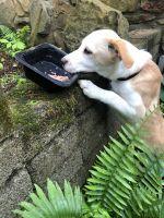 Labrador Retriever Puppies for sale in McMinnville, TN 37110, USA. price: NA