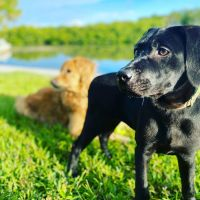 Labrador Retriever Puppies for sale in St Augustine Ave, Temple Terrace, FL 33617, USA. price: NA