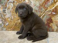 Labrador Retriever Puppies for sale in Hallandale Beach, FL 33009, USA. price: NA