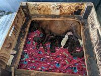 Labrador Retriever Puppies for sale in Sahuarita, AZ 85629, USA. price: NA