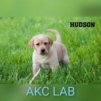 Labrador Retriever Puppies for sale in Clare, MI 48617, USA. price: NA