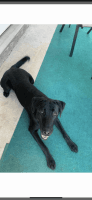 Labrador Retriever Puppies for sale in Jacksonville, NC 28546, USA. price: NA