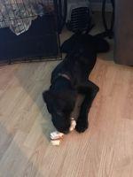 Labrador Retriever Puppies for sale in Palm Bay, FL 32908, USA. price: NA