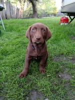 Labrador Retriever Puppies for sale in Joliet, IL, USA. price: NA