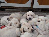 Labrador Retriever Puppies for sale in Zimmerman, MN 55398, USA. price: NA
