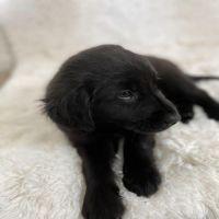 Labrador Retriever Puppies for sale in Dallas, TX 75217, USA. price: NA