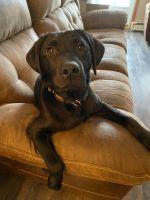 Labrador Retriever Puppies for sale in Carteret, NJ 07008, USA. price: NA