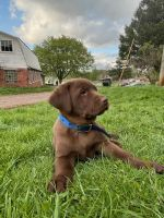 Labrador Retriever Puppies for sale in Pittsburgh, PA, USA. price: NA