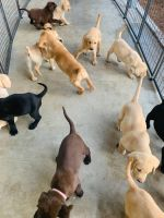 Labrador Retriever Puppies for sale in Palm Bay, FL, USA. price: NA