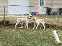 Labrador Retriever Puppies for sale in Birch Run, MI 48415, USA. price: NA