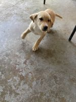 Labrador Retriever Puppies for sale in Hollandale, MS 38748, USA. price: NA
