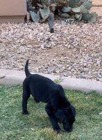 Labrador Retriever Puppies for sale in Goodyear, AZ, USA. price: NA