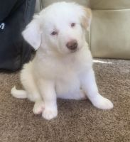 Labrador Retriever Puppies for sale in Oak Lawn, IL 60453, USA. price: NA