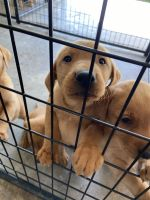 Labrador Retriever Puppies for sale in Wilmington, OH 45177, USA. price: NA