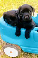 Labrador Retriever Puppies for sale in Mitchell, GA 30820, USA. price: NA