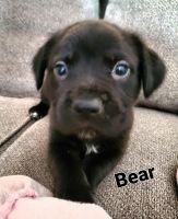 Labrador Retriever Puppies for sale in Kansas City, MO, USA. price: NA