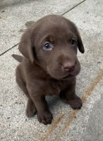 Labrador Retriever Puppies for sale in Omaha, NE, USA. price: NA