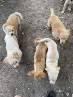 Labrador Retriever Puppies for sale in Little Rock, AR, USA. price: NA