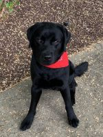 Labrador Retriever Puppies for sale in Robbinsville Twp, NJ, USA. price: NA