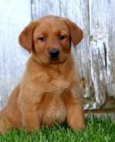 Labrador Retriever Puppies for sale in Seattle, WA 98146, USA. price: NA