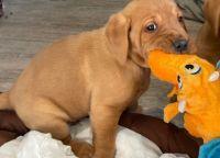 Labrador Retriever Puppies for sale in Cypress, CA, USA. price: NA