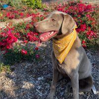 Labrador Retriever Puppies for sale in Chino, CA, USA. price: NA