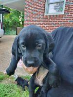 Labrador Retriever Puppies for sale in Buford, GA, USA. price: NA