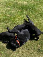 Labrador Retriever Puppies for sale in Spokane Valley, WA, USA. price: NA