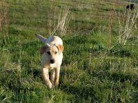 Labrador Retriever Puppies for sale in Anacortes, WA 98221, USA. price: NA