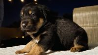 Labrador Retriever Puppies for sale in Vista, CA, USA. price: NA