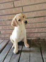 Labrador Retriever Puppies for sale in Liberty, TX, USA. price: NA