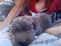 Labrador Retriever Puppies for sale in Joshua Tree, CA 92252, USA. price: NA
