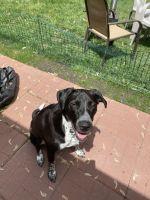 Labrador Retriever Puppies for sale in Mankato, MN, USA. price: NA