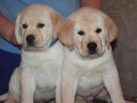 Labrador Retriever Puppies for sale in Cheyenne, WY, USA. price: NA