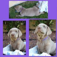 Labrador Retriever Puppies for sale in Santa Clarita, CA, USA. price: NA