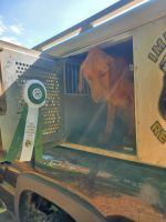 Labrador Retriever Puppies for sale in Carlyle, IL 62231, USA. price: NA