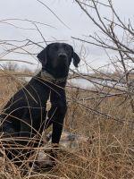 Labrador Retriever Puppies for sale in Denver, CO, USA. price: NA