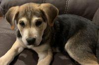 Labrador Retriever Puppies for sale in Northport, AL, USA. price: NA