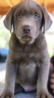 Labrador Retriever Puppies for sale in Murrieta, CA, USA. price: NA