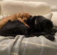 Labrador Retriever Puppies for sale in Sacramento, CA, USA. price: NA