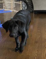 Labrador Retriever Puppies for sale in Naperville, IL, USA. price: NA