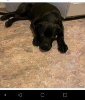Labrador Retriever Puppies for sale in 15628 Court Village Ln, Taylor, MI 48180, USA. price: NA