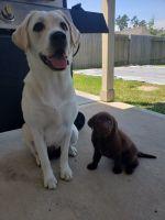 Labrador Retriever Puppies for sale in Magnolia, TX, USA. price: NA